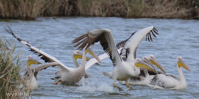 Pelicans - Taking Off in Water 3