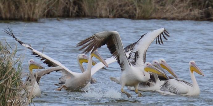 Pelicans - Taking Off in Water 3