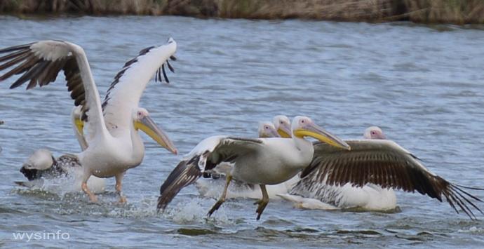 Pelicans - Taking Off in Water 4