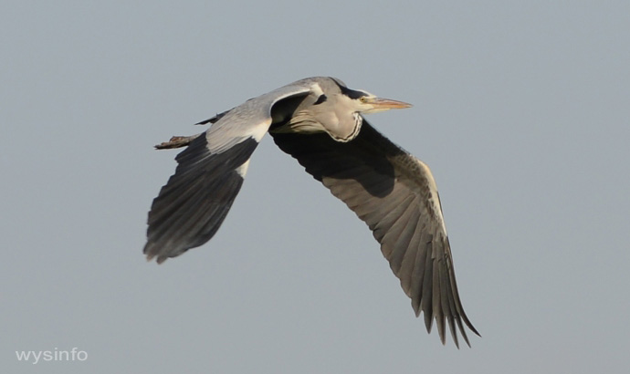 Grey Heron - Rowing Flight Technique - 2