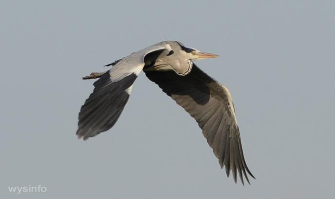 Grey Heron - Rowing Flight Technique - 2