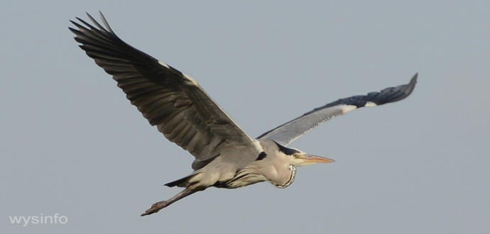 Grey Heron - Rowing Flight Technique - 3