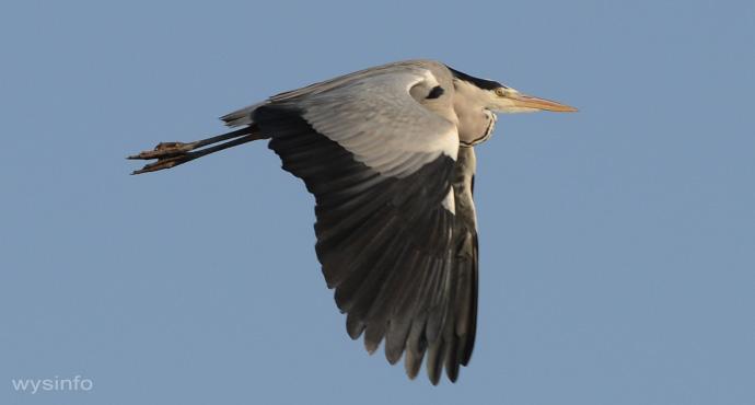 Grey Heron - Rowing Flight Technique - 4