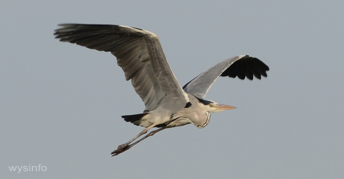 Grey Heron - Rowing Flight Technique - 1