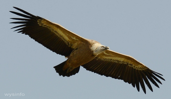 Griffon Vulture - Soaring Flight Technique