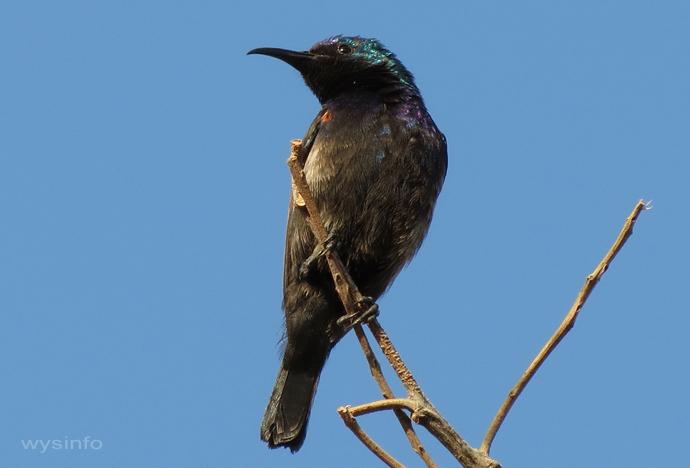 Palestine Sunbird - small passerine
