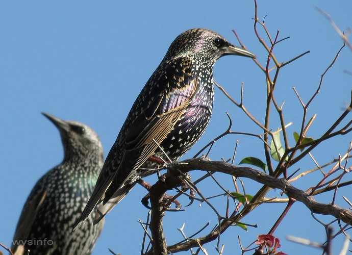 Starlings - migratory passerines