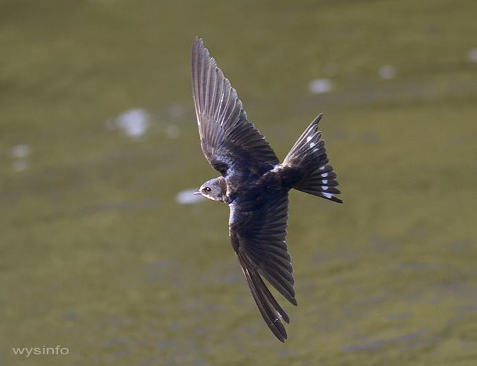 Swallows - agile flyers