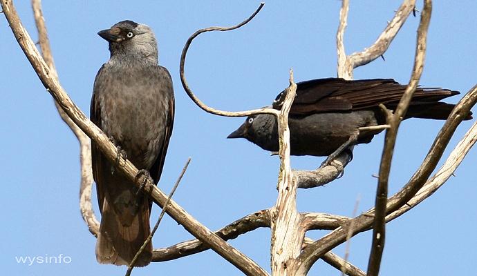 Jackdaw - migratory passerine