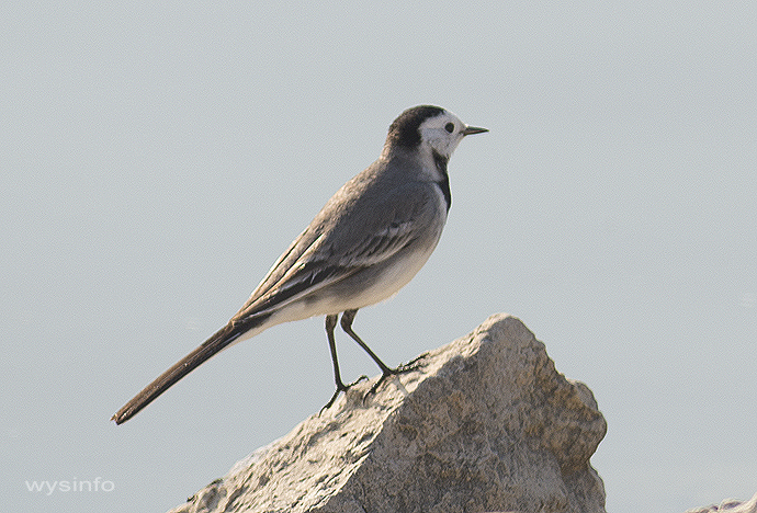 White Wagtail - small migratory bird