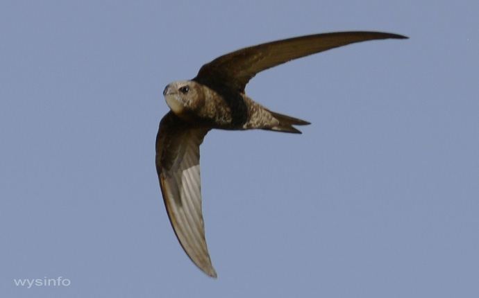 Swift flying