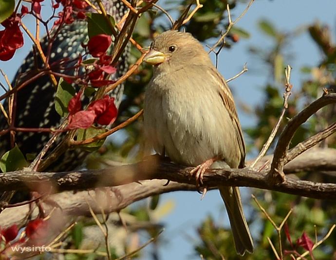 House sparrow - small passerine