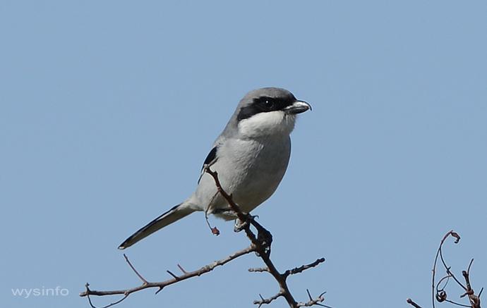 Shrike - small passerine