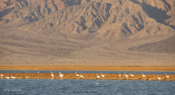 Flamingos in the salt ponds beside Eilat