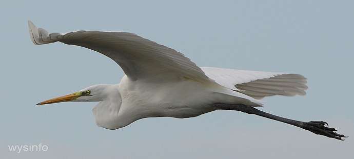 Egret flying Over Mediterranean East Shore