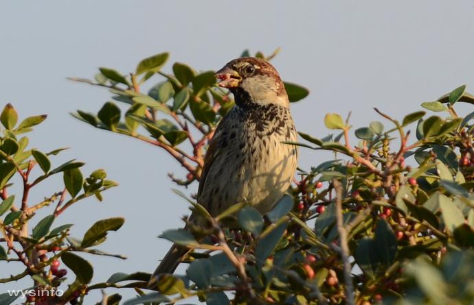 Spanish Sparrow - small passerine
