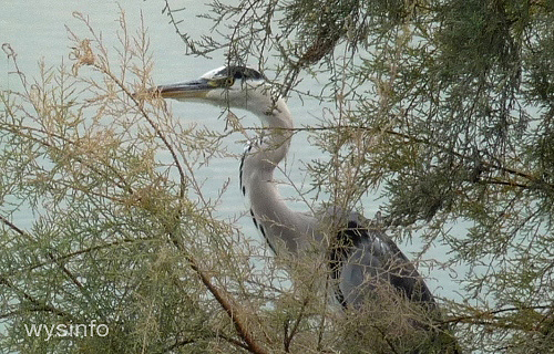 Grey heron -  water bird
