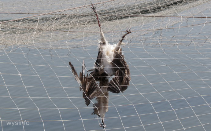 fish eating migratory bird caught in net above fish pond