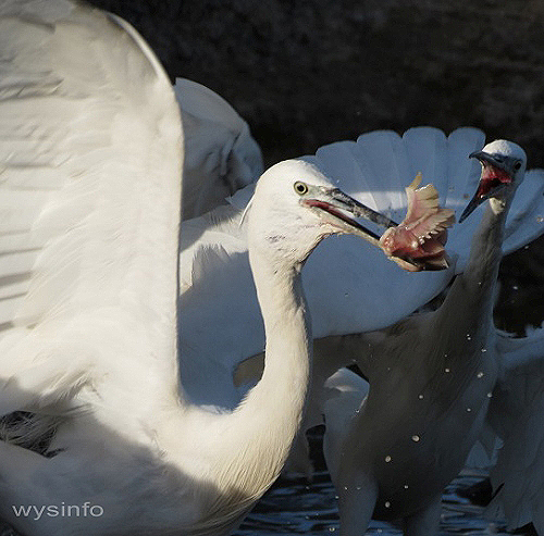 Little egrets fighting over fish
