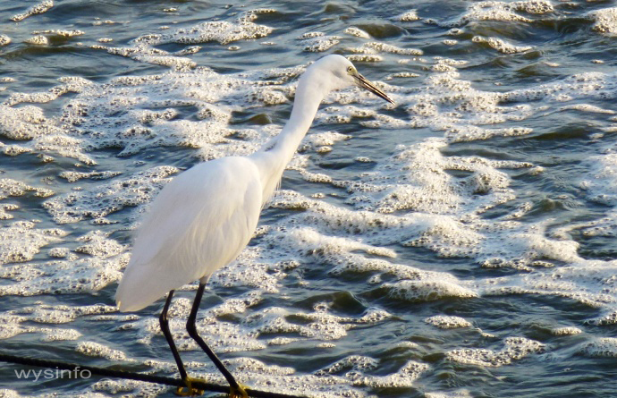 Little Egret Standing by Polluted Water
