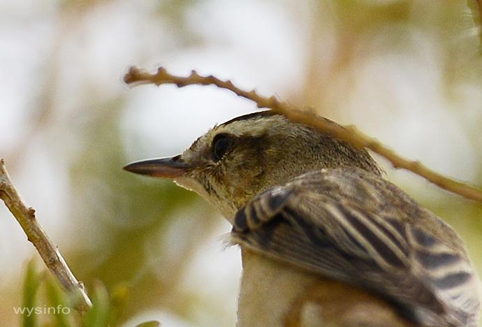 Sedge Warbler - passerine