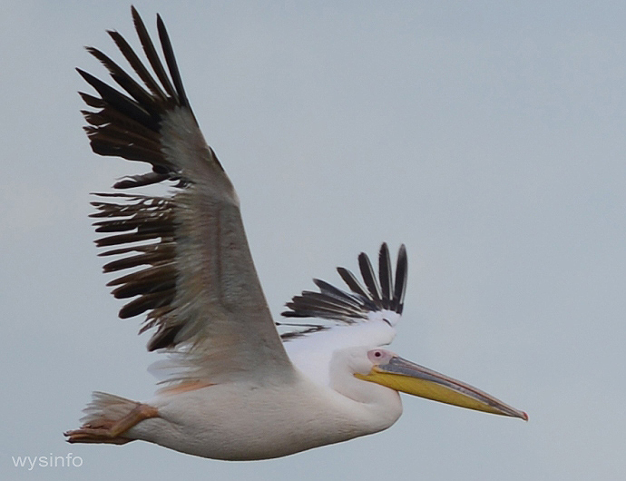 This pelican, with damaged feathers, may not complete this migration cycle
