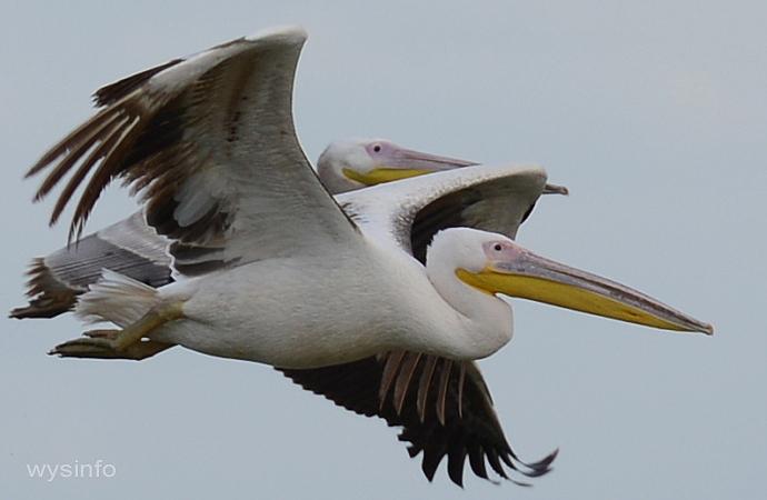 Migratory Pelicans Flying Over Maagan Michael, Israel