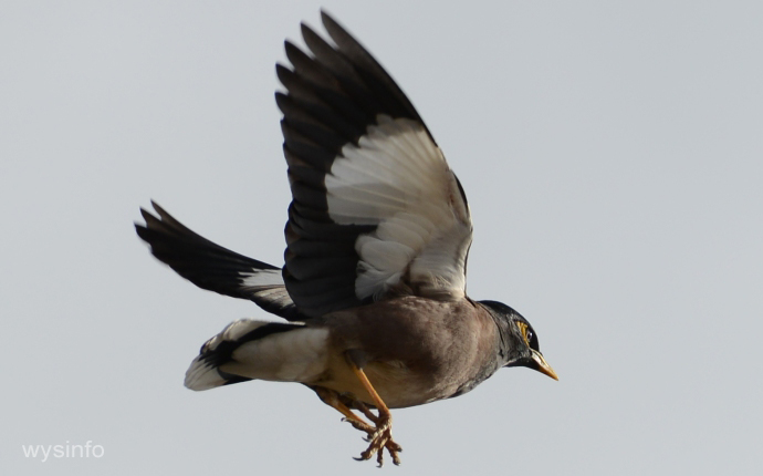 Mynah Bird - an invasive species