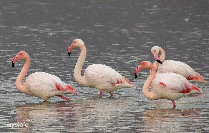 Greater flamingos wading in the salt ponds beside Eilat
