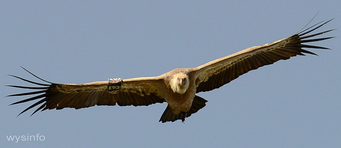 Tagged Griffon Vulture flying among the Cliffs of Gamla