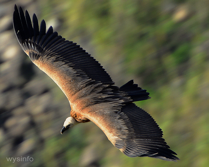 Griffon Vulture during the nesting period in Gamla Israel