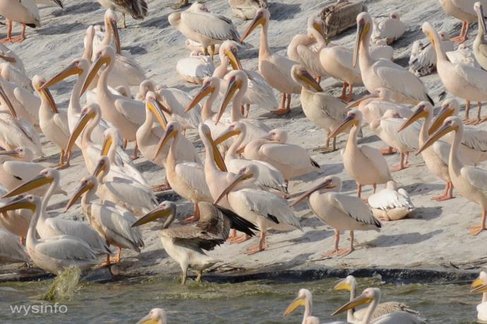 Pelicans resting - migratory water birds