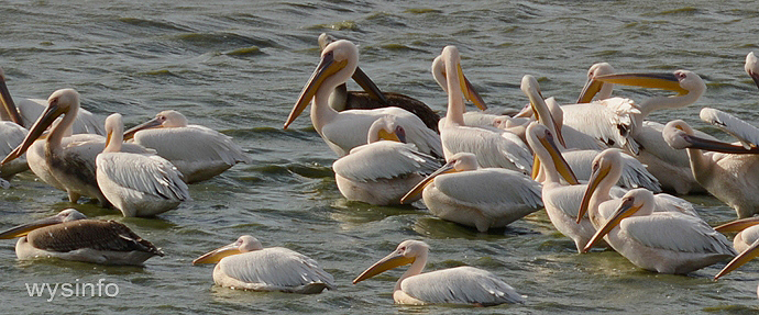 Migratory pelicans pausing at a fish pond for the night