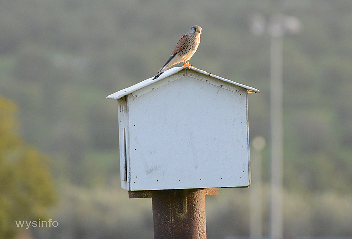 Kestrel on its man-made home