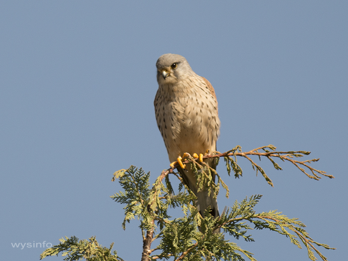 Kestrel used as part of an eco agricultural system