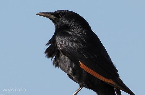 Tristarm's starling