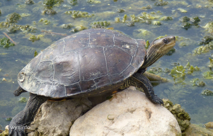 Smiling Turtle in the Hula Valley Nature Reserves