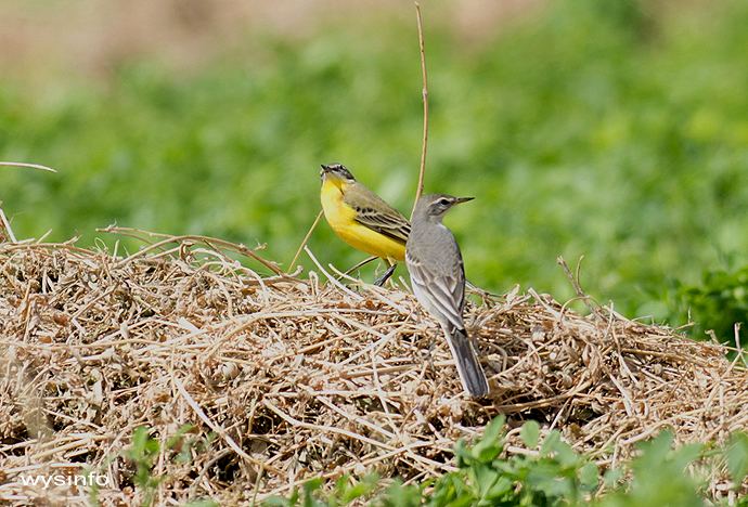 Yellow wagtails - small passerines