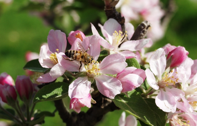 Scent of almond flowers