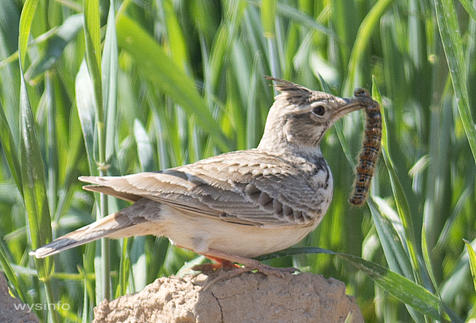 Crested Lark catching its food