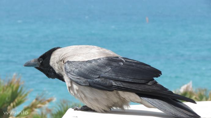 Hooded Crow - passerine