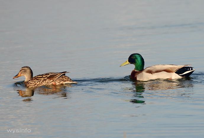 Mallard Ducks (Female-Left, Male-right)