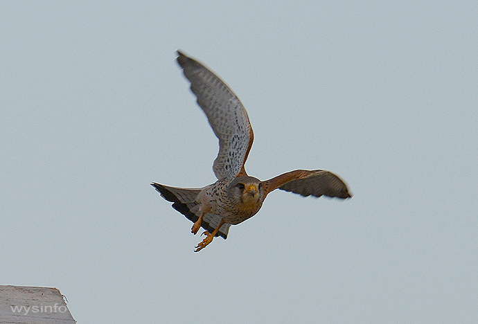Kestrel on the fly