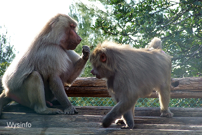 Male baboon smelling ovulating female