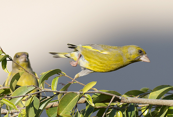 Greenfinch - small passerine