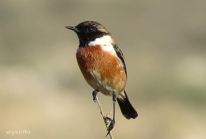 Stonechat - small passerine