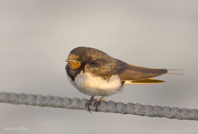 Young swallow at rest