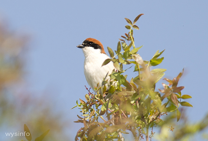 Woodchat shrike - small passerine