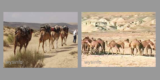 Camels in the Dead Sea region