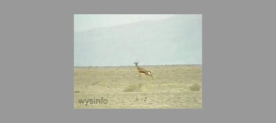 Fleet gazelle in plains of the Dead Sea region